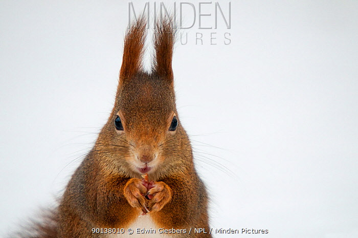 Head portrait of Red squirrel (Sciurus vulgaris) feeding in snow, Austria, Europe  -  Edwin Giesbers/ npl