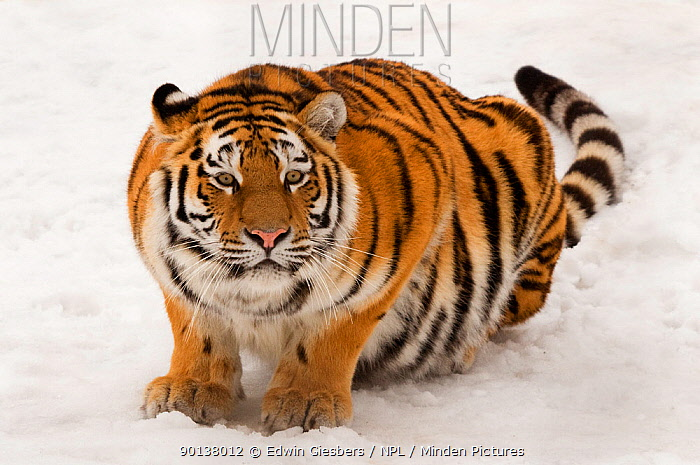 Portrait of Siberian tiger (Panthera tigris altaica) crouching in snow, ears back and ready to attack, captive  -  Edwin Giesbers/ npl