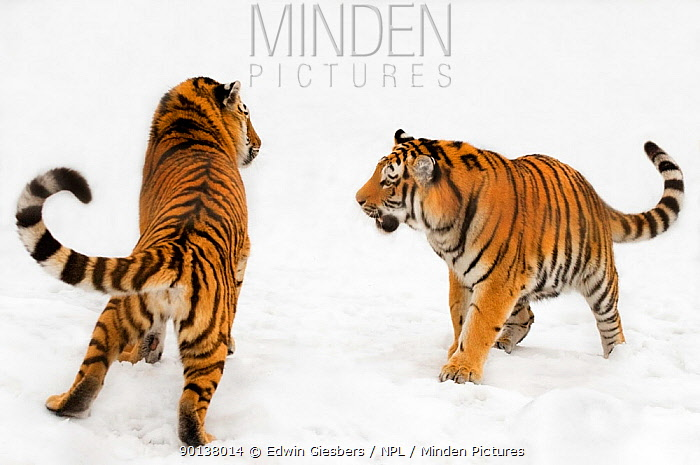 Two Siberian tigers (Panthera tigris altaica) play-fighting in the snow, captive  -  Edwin Giesbers/ npl