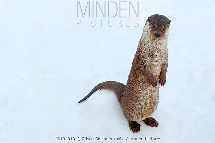 Portrait of European otter (Lutra lutra) sitting upright in snow, captive, the Netherlands  -  Edwin Giesbers/ npl