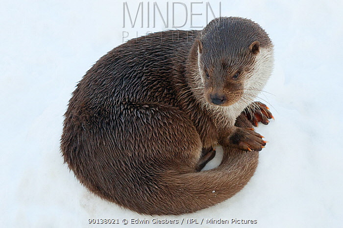 Portrait of European otter (Lutra lutra) curled up in the snow, captive, the Netherlands  -  Edwin Giesbers/ npl