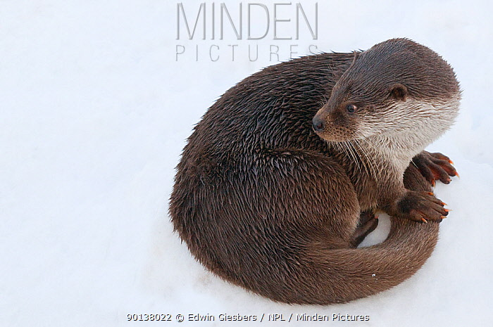 Portrait of European otter (Lutra lutra) sitting curled up in the snow, captive, the Netherlands  -  Edwin Giesbers/ npl
