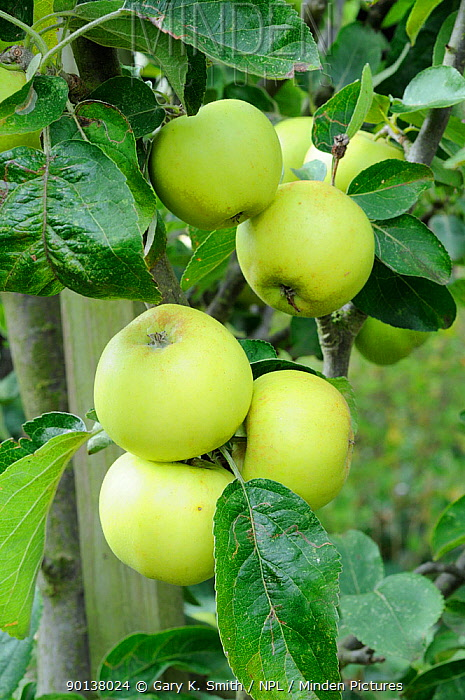Cultivated apples (Malus sylvestris) variety 'The Nelson' growing on tree Norfolk, UK, September  -  Gary K. Smith/ npl
