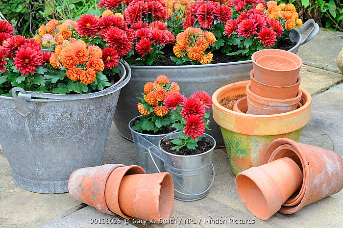 Miniature cultivated Autumn chrysanthemums, planted in galvanised containers on garden patio, Norfolk, UK, October  -  Gary K. Smith/ npl
