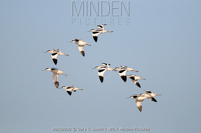 Small flock of Avocets (recurvirostra avosetta) in flight, Norfolk, UK, November  -  Gary K. Smith/ npl