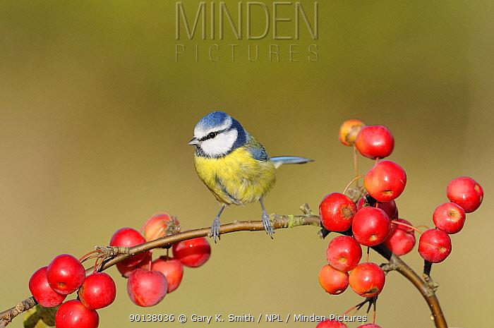 Blue tit (Parus caeruleus) perching amongst crab apples, UK, November  -  Gary K. Smith/ npl