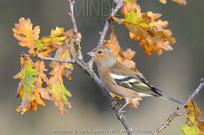Male Chaffinch (Fringilla coelebs) perched on Oak branch, Norfolk, UK, December  -  Gary K. Smith/ npl
