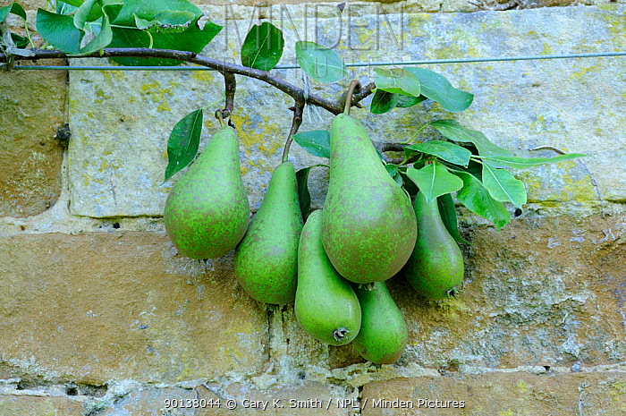 Cultivated 'Williams' variety of pears (Pyrus communis) fan trained, UK, September  -  Gary K. Smith/ npl