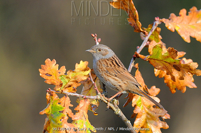 Dunnock (Prunella modularis) perched on Oak (Quercus) branch, Norfolk, UK, December  -  Gary K. Smith/ npl