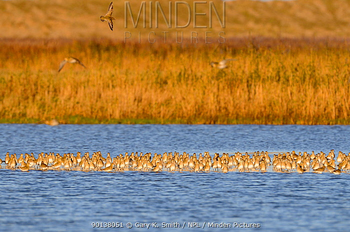 Large flock of Golden plovers (Pluvialis apricaria) on coastal freshwater scrape, Norfolk, UK, November  -  Gary K. Smith/ npl