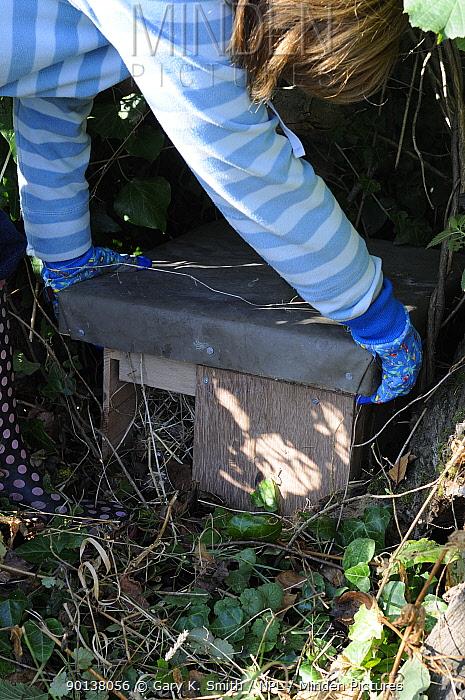Woman placing lid on Hedgehog (Erinaceus europaeus) hibernation box, in garden hedgerow, Norfolk, UK, October 2009  -  Gary K. Smith/ npl