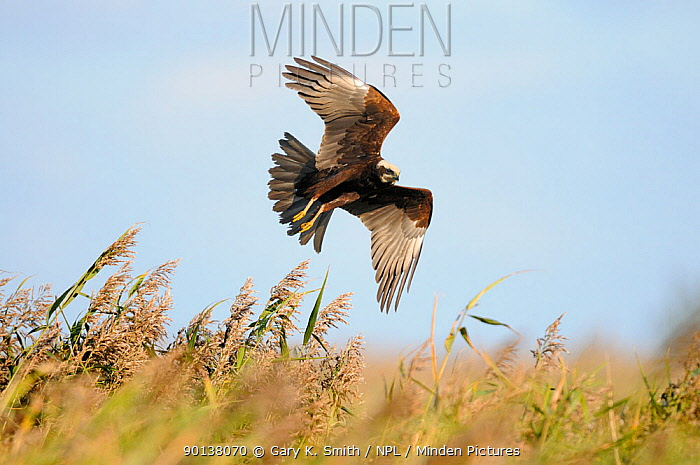 Juvenile male Marsh harrier (Circus aeruginosus) in flight over Common reed bed (Phragmites australis) Norfolk, UK, October  -  Gary K. Smith/ npl