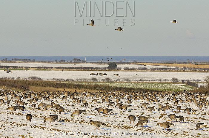 Flock of Pink footed geese (Anser brachyrhynchus) feeding on snow covered sugar beet tops, Norfolk, UK, December 2009  -  Gary K. Smith/ npl