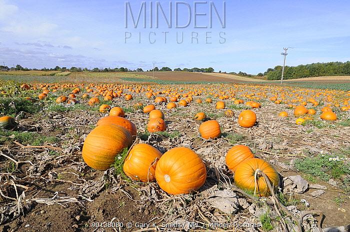 Commercial Pumpkin (Cucurbita maxima) crop, grown for the UK Halloween market, Norfolk, UK, October  -  Gary K. Smith/ npl