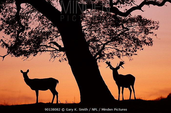 Red Deer stag and hind (Cervus elaphus) silhouetted at sunset, Holkham Park, Norfolk, UK, December  -  Gary K. Smith/ npl