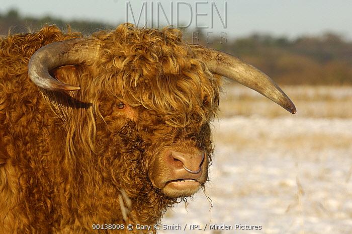 Head portrait of Highland cattle bull (Bos taurus) in snow covered field, Norfolk, UK, December  -  Gary K. Smith/ npl