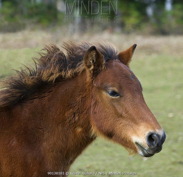 Domestic horse, portrait of a rare native bay Kiso colt, Kiso County, Nagano Prefecture, Japan 2009  -  Kristel Richard/ npl