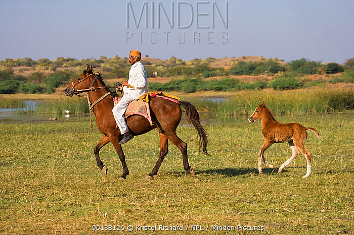 A traditional dressed Indian man rides a rare and traditionally dressed Kathiawari mare followed by her filly foal near a lake, in Chotila, Gujarat, India 2010  -  Kristel Richard/ npl