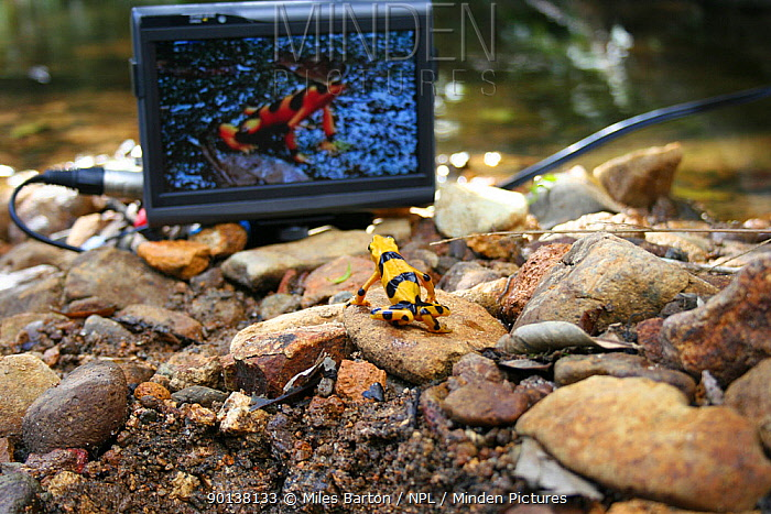Panamanian golden frog (Atelopus ziteki) reacting to the image of a frog on a video monitor Experiment carried out to reveal the purpose of the frog's waving behaviour ? to attract mates and deter rivals Panama Featured in BBC NHU series 'Life in Cold Blood' Species now extinct in the wild  -  Miles Barton/ npl