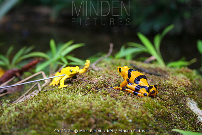 Panamanian Golden Frog (Atelopus ziteki) reacting to the model of a waving frog Experiment carried out to reveal the purpose of the frog's waving behaviour ? to attract mates and deter rivals Featured in BBC NHU series 'Life in Cold Blood' Species now extinct in the wild  -  Miles Barton/ npl