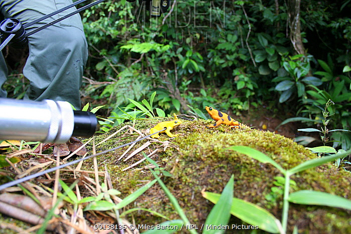 Filming Panamanian Golden Frog (Atelopus ziteki)reacting to the model of a waving frog Experiment carried out to reveal the purpose of the frog's waving behaviour ? to attract mates and deter rivals Featured in BBC NHU series 'Life in Cold Blood' Species now extinct in the wild  -  Miles Barton/ npl