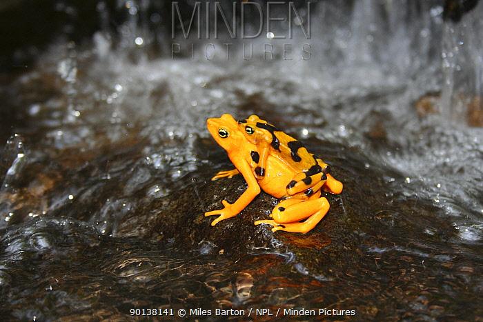 Panamanian Golden Frog (Atelopus ziteki) Panama,  -  Miles Barton/ npl