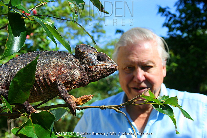 Sir David Attenborough observing a male Oustalet?s chameleon (Furcifer oustaleti) the largest chameleon in the world, Montagne D?Ambre, Madagascar, on location for filming of BBC NHU series 'Life in Cold Blood' 2006  -  Miles Barton/ npl
