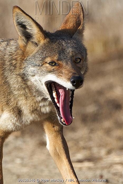 Head portrait of Coyote (Canis latrans) yawning, Bolsa Chica wetlands, Huntington Beach, California, USA  -  Piper Mackay/ npl