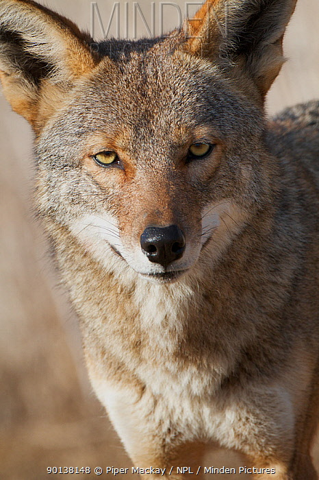 Head portrait of Coyote (Canis latrans) Bolsa Chica wetlands, Huntington Beach, California, USA  -  Piper Mackay/ npl