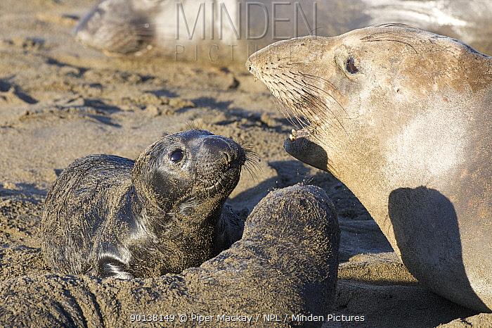 Northern elephant seal (Mirounga angustirostris) female with two pups, Pt Piedras Blancas, California, USA  -  Piper Mackay/ npl
