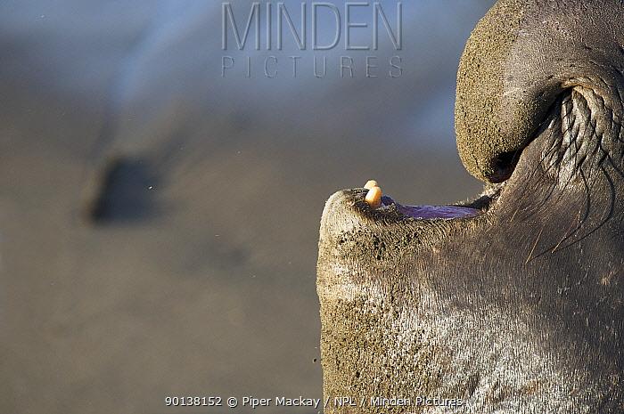 Close up of male Northern elephant seal (Mirounga angustirostris) vocalising, Pt Piedras Blancas, California, USA  -  Piper Mackay/ npl