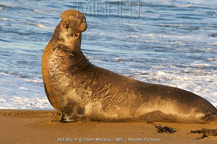 Male Northern elephant seal (Mirounga langustirostris)in territorial posture on beach, Pt Piedras Blancas, California, USA  -  Piper Mackay/ npl