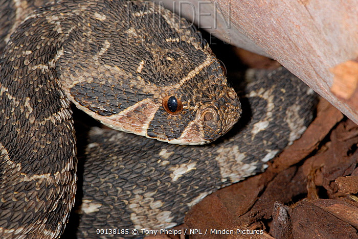 Puff adder (Bitis arietans) coiled under rock, Oudtshoorn, Little Karoo, South Africa  -  Tony Phelps/ npl