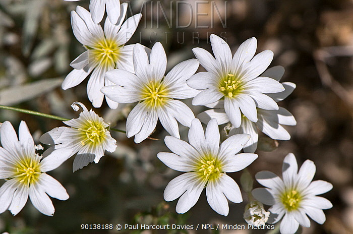 Snow in summer, Mouse ear (Cerastium tomentosum) flowering, Mt Terminillo, Apennines, Lazio, Italy, grows at altitudes up to 2250m  -  Paul Harcourt Davies/ npl