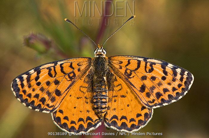 Spotted fritillary butterfly (Melitaea didyma) female, Umbria, Italy  -  Paul Harcourt Davies/ npl