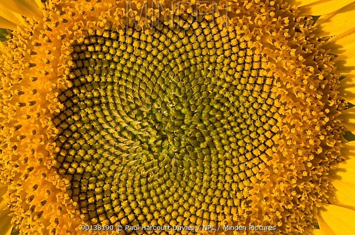 Close up of Sunflower (Helianthus annuus) showing spirals in arrangement that follow Fibbonacci's number sequence, Italy  -  Paul Harcourt Davies/ npl