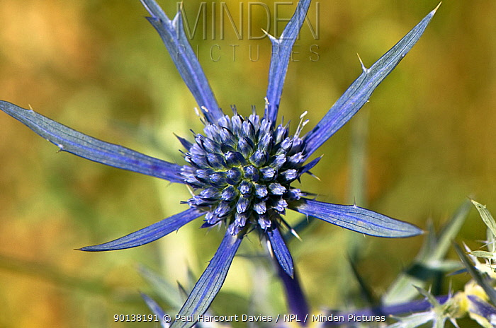 Blue eryngo (Eryngium amethystinum) flower, an excellent nectar source for bees and butterflies, Umbria, Italy  -  Paul Harcourt Davies/ npl