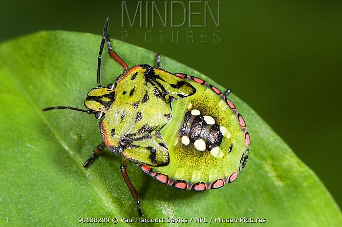 Shield Bug (Nezarla viridula) nymph, Italy  -  Paul Harcourt Davies/ npl
