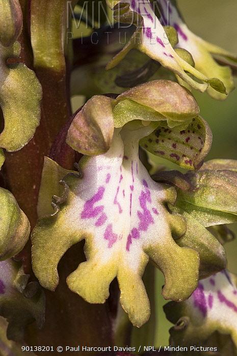 Close up of flower of Giant orchid (Barlia robertiana) Puglia, Italy  -  Paul Harcourt Davies/ npl