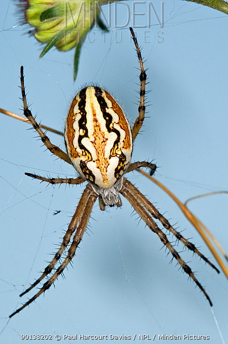 Orb-web spider (Aculepeira armida) female on web, Italy  -  Paul Harcourt Davies/ npl