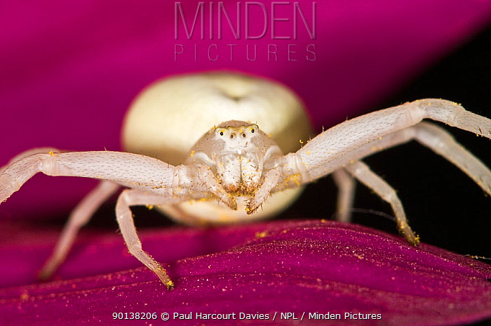 Goldenrod crab spider (Misumena vatia) female alert for prey on a flower, Italy  -  Paul Harcourt Davies/ npl