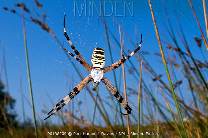 Orb web spider (Argiope bruennichi) on web, Tuscany, Italy  -  Paul Harcourt Davies/ npl