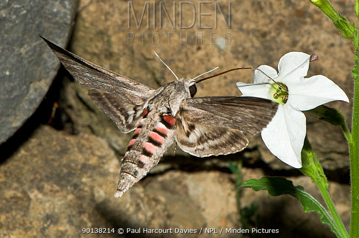 Convolvulus hawk (Herse, Agrius convolvuli) a migrant hawkmoth with a 12cm proboscis visiting Nicotiana flowers at dusk, Italy  -  Paul Harcourt Davies/ npl