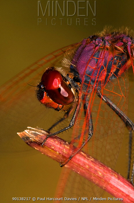 Ruddy darter dragonfly (Sympetrum sanguineum) male resting on post, Umbria, Italy  -  Paul Harcourt Davies/ npl