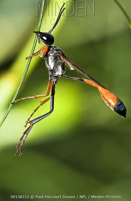 Sand wasp (Ammophila heydenii) Umbria, Italy  -  Paul Harcourt Davies/ npl