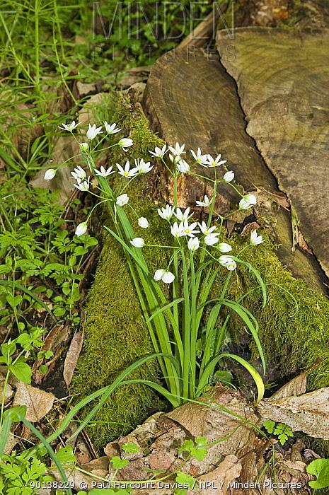 Three-cornered leek (Allium triquetrum) flowering in woodland, Italy  -  Paul Harcourt Davies/ npl