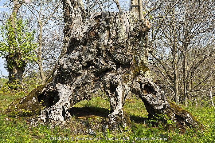 Ancient Sweet chestnut tree (Castanea sativa) in coppiced woodland, Canapine, nr Viterbo, Lazio, Italy  -  Paul Harcourt Davies/ npl