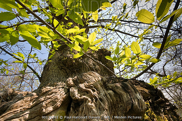 Looking up the trunk of an ancient Sweeet chestnut tree (Castanea sativa) in coppiced woodland, nr Viterbo, Lazio, Italy  -  Paul Harcourt Davies/ npl