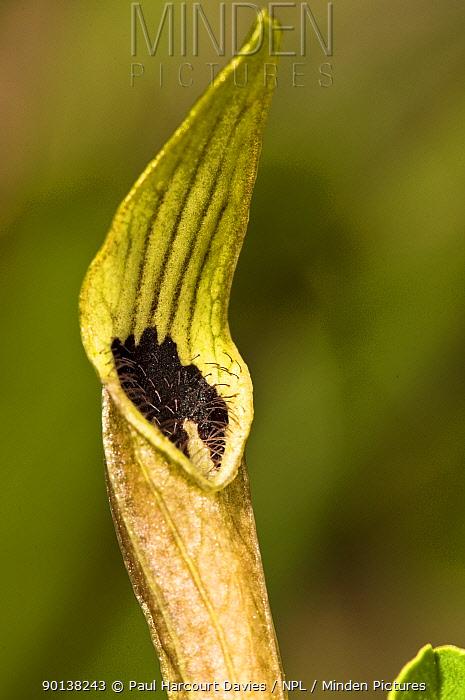 Pale birthwort (Aristolochia pallida) flower, one of the foodplants of festoon butterflies, Lazio, Italy  -  Paul Harcourt Davies/ npl