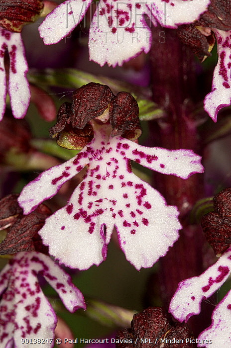 Lady orchid (Orchis purpurea) close up of flowers showing lady shape, Italy  -  Paul Harcourt Davies/ npl